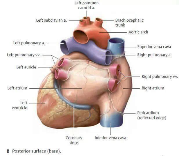 Heart Anatomy Anterior - Study Group - www.MedicalTalk.Net the Best ...